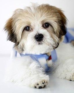 Cachorro raça Lhasa Apso posando para book canino