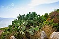Cactus flower in Sardinia, Italy (48399521237).jpg