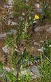 Calendula arvensis, Sète 01.jpg