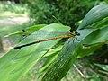 Calicnemia nipalica.jpg
