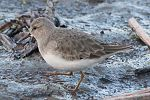 Calidris temminckii 01 walking.JPG