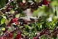 Calliope Hummingbird (male without half tail) Paton's Patagonia AZ 2017-05-17 08-59-26 (34377140670).jpg