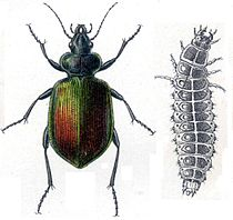 Grote poppenrover (Calosoma sycophanta) met larve