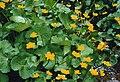 Caltha palustris 2.jpg