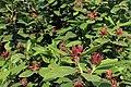 Calycanthus floridus kz03.jpg