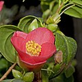 Camellia.japonica.7164.jpg