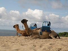 Camelos para passeio no parque de Genipabu.jpg