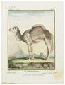 Camelus dromedarius - 1700-1880 - Print - Iconographia Zoologica - Special Collections University of Amsterdam - UBA01 IZ21600043.tif