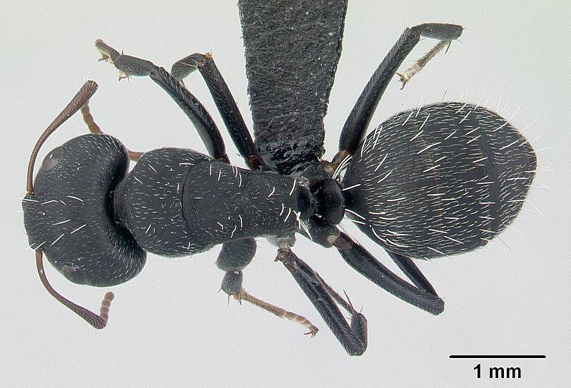 File:Camponotus auropubens casent0178199 dorsal 1.jpg