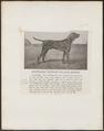 Canis lupus familiaris - 1700-1880 - Print - Iconographia Zoologica - Special Collections University of Amsterdam - UBA01 IZ22200236.tif