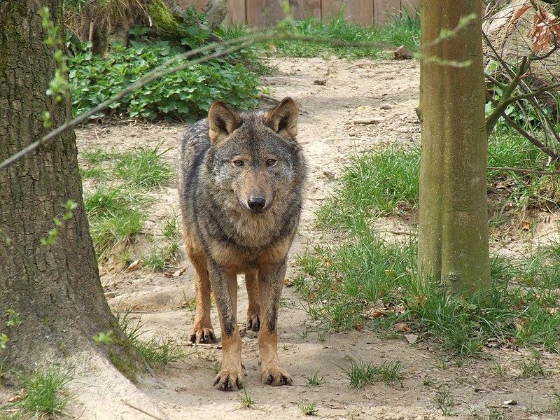 Ficheiro:Canis lupus signatus (Kerkrade Zoo) 17.jpg