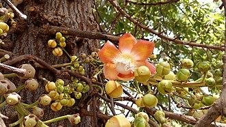 Couroupita guianensis - Image: Cannon Ball Tree Flower Mumbai Prd
