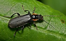 Cantharis.obscura.1.jpg