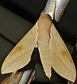 Cape Hawkmoth (Theretra capensis) (13950175911).jpg