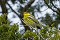 Cape May Warbler - Point Pelee - Ontario FJ0A4992 (35071805765).jpg