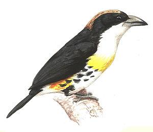Spot-crowned barbet - Image: Capito maculicoronatus