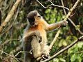 Capped Langur Tripura (2).jpg