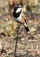 Capped Wheatear, Oenanthe pileata at Suikerbosrand Nature Reserve, Gauteng, South Africa (14996056408).jpg