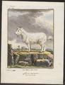 Capra aegagrus var. reversa - 1700-1880 - Print - Iconographia Zoologica - Special Collections University of Amsterdam - UBA01 IZ21300255.tif