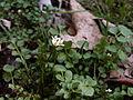 Cardamine hirsuta, 2015-04-05, Mount Lebanon, 02.jpg