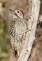 Cardinal Woodpecker - MALE, Dendropicos fuscescens at Pilanesberg National Park, Northwest Province, South Africa (15088950311).jpg
