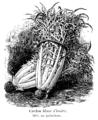 Cardon blanc d'ivoire Vilmorin-Andrieux 1904.png