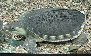 Karetka novoguinejská v akváriu ZOO Brna