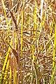 Carex aquatilis inflorescens (14).jpg