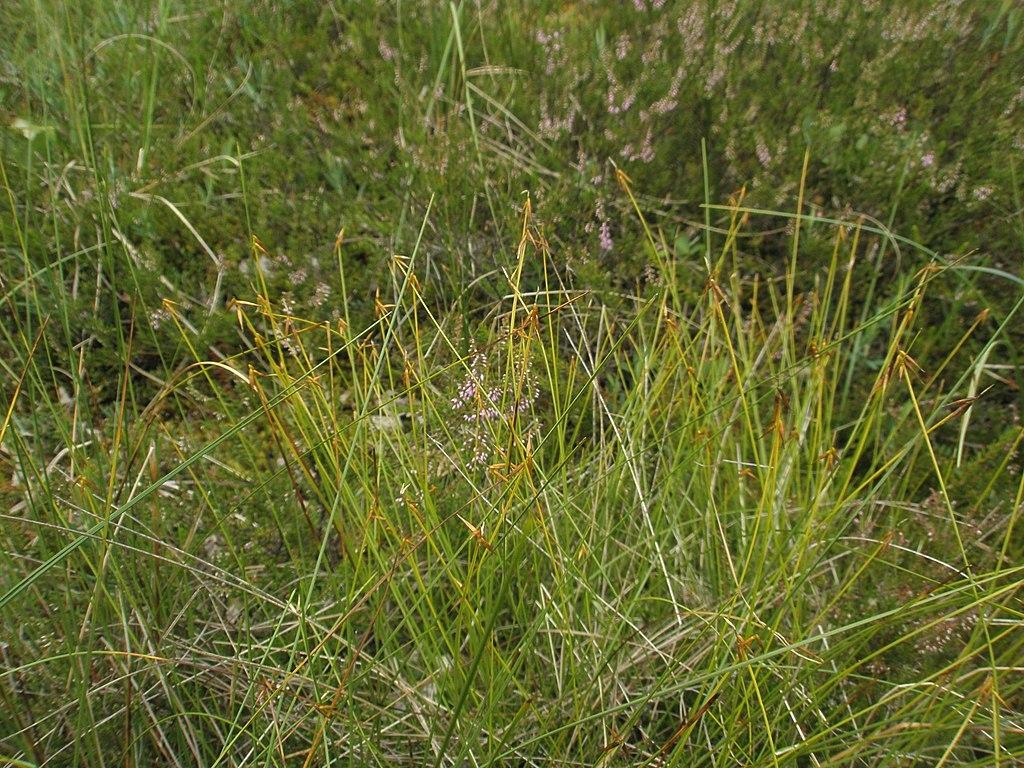Octrica malokvetá - Carex pauciflora