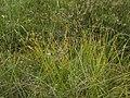 Carex pauciflora.jpg