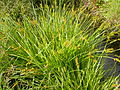 Carex stipata (4155049659).jpg