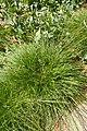 Carex tumulicola kz2.jpg