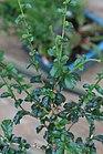 Carmona microphylla 1zz.jpg