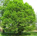 Carpinus betulus 'Fastigiata' by Line1.jpg