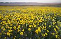Carrizo Plains wildflowers BLM.jpg