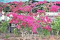Caryophyllales - Bougainvillea glabra - 6.jpg