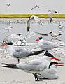 Caspian Tern From The Crossley ID Guide Eastern Birds.jpg