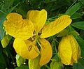 Cassia fistula, blomme, b, Manie van der Schijff BT.jpg