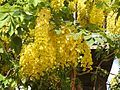 Cassia fistula flowers by Dr. Raju Kasambe DSCN4427 11.jpg