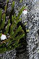 Cassiope mertensiana 9208.JPG