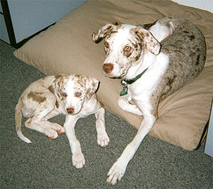 Red merle Catahoula Leopard Dogs.
