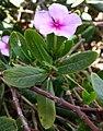 Catharanthus roseus kz1.JPG