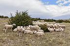 Causse Mejean Lacaune ovins.jpg