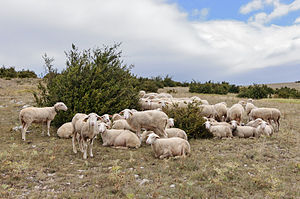 Lacaune sheep - A flock of Lacaune sheep in Lozère, Massif Central, France