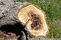Cavités dans des bûches de peuplier blanc (22).JPG