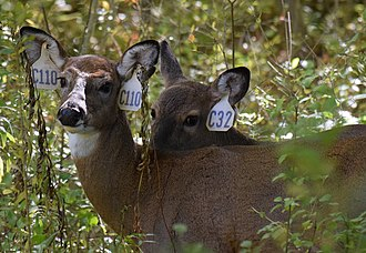 Cayuga Heights, New York - Two tagged white-tail deer in Cayuga Heights