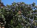 Ceanothus arboreus, Californischer Flieder.JPG