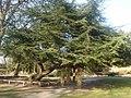 Cedar of Lebanon tree at Worden Hall.jpg