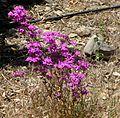 Centaurium menor. (C. erythraea subsp. majus) - Flickr - gailhampshire.jpg