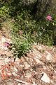 Centranthe rouge-Centranthus ruber-Calvisson-20140805.jpg